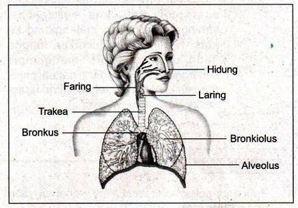 W1siZiIsIjIwMTUvMDQvMjEvMDkvNTYvMzYvNjMxL0xlc3Nvbi5fMjBUYWJlbF8yMEphcmluZ2FuXzIwT3RvdC5qcGciXSxbInAiLCJ0aHVtYiIsIjYwMHhcdTAwM2UiLHt9XSxbInAiLCJjb252ZXJ0IiwiLWNvbG9yc3BhY2Ugc1JHQiAtc3RyaXAiLHsiZm9ybWF0IjoianBnIn1dXQ Organ Pada Manusia