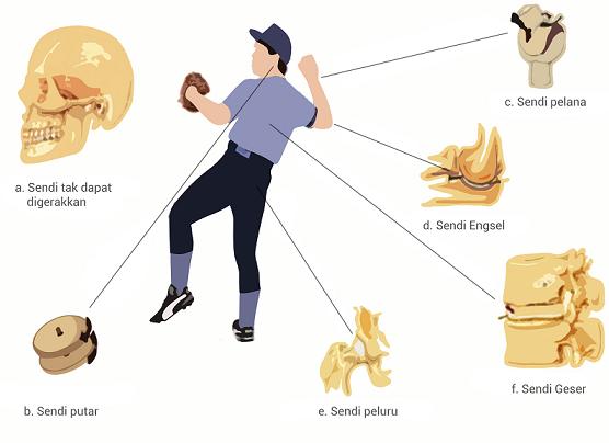 Sistem Rangka, Persendian, dan Otot Pada Manusia